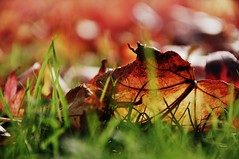 . (life outside the fish bowl) Tags: autumn red brown colour green grass leaves yellow leaf bokeh devon autumnal devonshire southhams dartington dartingtonhall darrenfarmer lifeoutsidethefishbowl
