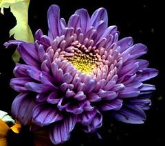 the shades of purple petals (Buyung Mukawi (OFF)) Tags: mixedflowers flickraward flowersarebeautiful macroelsalvador excellentsflowers exquisiteflowers mimamorflowers awesomeblossoms nikonflickraward faunaandfloraoftheworld flickrflorescloseupmacros phoddastica nossasflores esenciadelanaturaleza