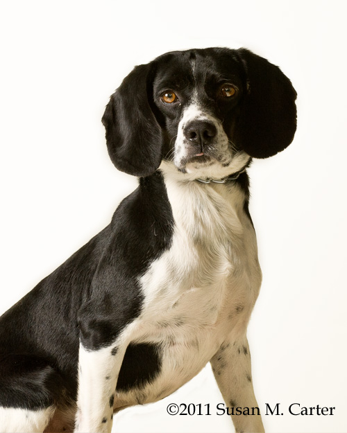 beagle mix at Fauquier SPCA