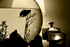 Fish... (Steven&K20D) Tags: white fish black roma lamp ball 50mm candles candle perfume tank pentax fighting bianco candela nero acquario pesce candele palla seppia f17 thay m50mm combattente k20d
