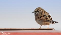 Angry Bird (Faisal Alzeer) Tags: bird birds nikon angry arabia riyadh faisal ksa saudia فيصل طير عصفور طيور nikkor300mm نيكون عصافير fnz colorphotoaward d300s بيرد الزير alzeer abonasser ابوناصر دي٣٠٠اس نيكور٣٠٠ انقري