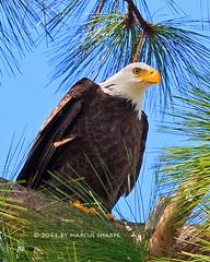 Bald Eagle (Marcus Sharpe) Tags: november nature cemetery birds orlando eagle marcus florida birding bald greenwood 20 rapture sharpe 2011