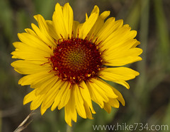 "Gaillardia • <a style=""font-size:0.8em;"" href=""http://www.flickr.com/photos/63501323@N07/6389766739/"" target=""_blank"">View on Flickr</a>"