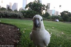 Here's looking at you cockatoo two (brianapa) Tags: bird flickr sydney australia cockatoo royalbotanicalgardens
