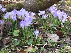 IMG_4155 (panoramastitcher) Tags: mars spring crocus printemps mrz ulm krokus 2012 frhling frhjahr mhringen ulmmhringen