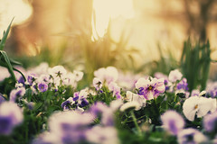 garden scenes in spring (Maegondo) Tags: sunset sun flower nature gardens backlight canon germany bayern deutschland bavaria 50mm dof purple bokeh 14 pring ingolstadt dephtoffield eos550d