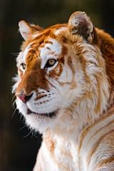 Portrait of the golden tiger (Tambako the Jaguar) Tags: wild portrait beautiful face cat golden switzerland big nikon tiger sunny jura rare bengal d700 sikyranch cremines highqualityanimals