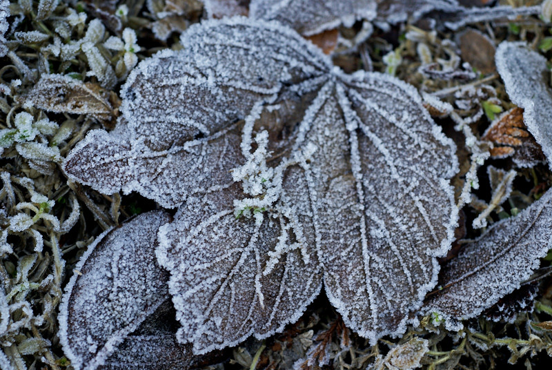 hoarfrost on leaf