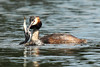 In one (craig.denford) Tags: chicks greatcrestedgrebe fishgreatcrestedgrebechicks