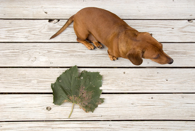Otto & huge grape leaf