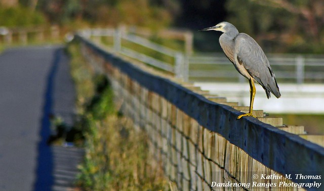 White-faced Heron on the fence
