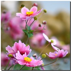 Anemone (PHOTOPHOB) Tags: flowers autumn summer plants plant flores flower macro nature petals spring flickr dof estate bokeh sommer herbst natur flor pflanze blumen zomer verano otoo vero t blume ranunculaceae outono frhling jesie windrschen lato lto sonbahar herbstanemone efterr anmones idream photophob wonderfulworldofflowers flickrflorescloseupmacros