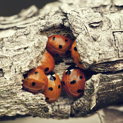 the ladybug spot (Black Cat Photos) Tags: uk autumn england macro home nature closeup canon bug blackcat insect photography photo cozy europe close wildlife yorkshire beetle 100mm m collection hide together spotty gathering ladybird ladybug safe scrum huddled blackcatphotos