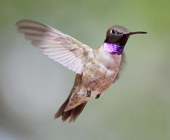 Formal Attire (sedonakin) Tags: arizona southwest macro bird nature canon wings hummingbird purple bokeh wildlife flight sedona birdsinflight avian oakcreekcanyon arizonawildflowers naturesfinest blackchinnedhummingbird archilochusalexandri fieldguidebirdsoftheworld arizonabirds archilocus avianphotography southwesternbirds southwesternwildlife julielake
