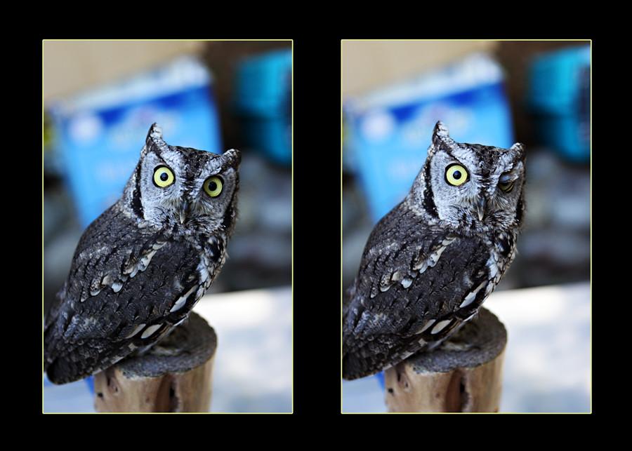 webduo owl
