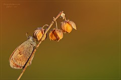 LE TRE CAMPANELLE (Siprico - Silvano) Tags: beautiful insect skipper natura lepidoptera lovely cernuscosulnaviglio naturalistica macrofografia macro siprico fotografianaturalistica pricoco silvanopricoco wwwpricocoorg httpwwwpricocoorg wwwfotografiamacrocom fotografiamacrosbuzznbugzcanonsoloreflexmacrofotografiafotografia