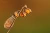 """LE TRE CAMPANELLE (Siprico - Silvano) Tags: beautiful insect skipper natura lepidoptera lovely cernuscosulnaviglio naturalistica macrofografia """"macro siprico fotografianaturalistica pricoco silvanopricoco wwwpricocoorg httpwwwpricocoorg wwwfotografiamacrocom fotografiamacrosbuzznbugzcanonsoloreflexmacrofotografiafotografia"""