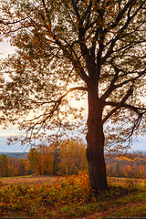 Majestic Oak Tree During Autumn (Greg from Maine) Tags: autumn autumnfoliage trees fallleaves fall leaves landscape golden countryside oak october farming maine newengland autumnleaves hills foliage fields oaktree oakleaves fallseason piscataquis sangerville piscataquiscounty sangervillemaine