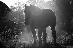 DSC_9748 (Ton van der Weerden) Tags: horses horse de cheval van der nederlands belges ton draft chevaux someren belgisch trait trekpaard trekpaarden weerden wendyvandeklaverhoevejanswinkelsherfst