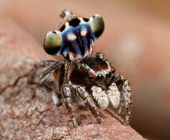 _MG_0152 peacock spider Maratus harrisi (Jurgen Otto) Tags: arachnid australia jumper jumpingspider salticid namadgi booroomba salticidae peacockspider maratus harrisi