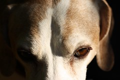 A beauty of a dog (bluerapsody) Tags: light shadow portrait dog brown white eye pointer