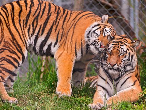無料写真素材, 動物 , 虎・トラ, 動物  カップル