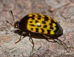 Escarabajo de la Amazonia Colombiana,  Iphiclus sp. (entomopixel) Tags: insect insecto cucarron escarabajo beetle amazonas leticia colombia nikon d7000 macrophotography macro