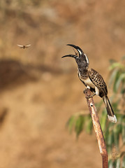 Grey Hornbill(Tockus nasutus) (ALi AL-Qudsi) Tags: bird canon grey ali l 28 abha 70200 hornbill   tockus   40d      alqudsi nasutus