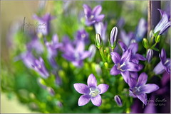 Bokehlicious (Stefan Cioata) Tags: flowers macro beautiful closeup photography photo colours dof purple image bokeh sale postcard great stock best stefan explore card getty mauve top10 delicate greeting available mov outstanding cioata