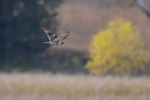Hawk DSC_5452 50 crop