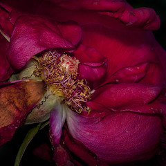 One for Selah Sue 50 X 50 cm (thierry.ysebaert) Tags: pink autumn red roses flower detail nature rose closeup flora nikon erotic colours artistic decay roos passion romantic antwerp rood rozen thierry erotique deterioration meeldraden dyingroses macro105mm nikond90 ysebaert selahsue thierryysebaert vervallenrozen roosinverval