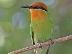 Bohm's Bee-eater, Liwonde (Malawi), 27-May-11 (Dave Appleton) Tags: bird birds malawi boehmi beeeater boehmsbeeeater boehms merops liwonde bohms nearpasserine meropsboehmi bohmsbeeeater
