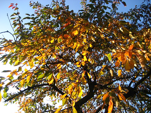 Cherry tree in autumn colours