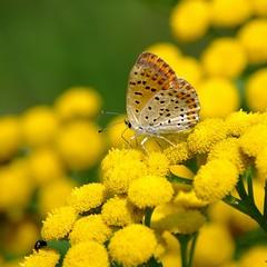 ✿ Insect Macro (vaskos66) Tags: macro art nature beautiful insect pentax sigma papillon makro 70200 k7 vaskos66