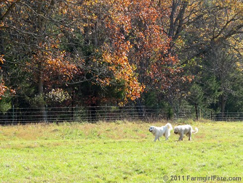 Rounding up the sheep surrounded by autumn color 10 - FarmgirlFare.com