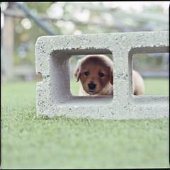 Who...Me? (Douglas Bawden Photography) Tags: dog film dogs mediumformat puppy puppies canine squareformat filmcamera lightmeter twinlensreflex kodakfilm mamiyac220 rollfilm cutepuppy bluedot 120rollfilm mamiyatlr gossenlunasix3 mamiyac220f kodakportrafilm mediumformatfilmcamera seikoshutter mamiyasekor80mmf28s kodakportra800professional
