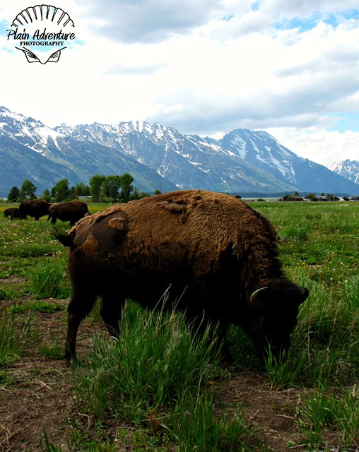 Wildlife Photography Number 21 – Bison at the Tetons