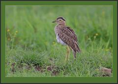 Double-striped Thick-knee (Burhinus bistriatus) -view original. (Rainbirder) Tags: costarica doublestripedthickknee burhinusbistriatus rainbirder