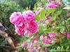 mini-rosa (Rogério Plachinski) Tags: flower rose flor rosas buquê minirosa