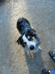 DSCN0028 (rlg) Tags: november dog male animal mammal 05 indigo saturday 1105 australianshepherd indi 2011 fpr 175years nikonp500 201111 11052011 20111105