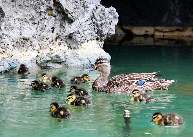 Ducklings Hamilton Gardens