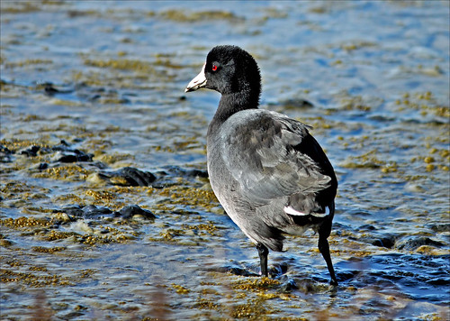 Common American Coot  (explored)