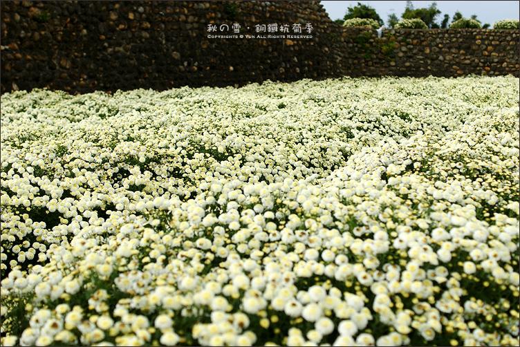銅鑼旅遊︱2011杭菊季~秋日中的雪白花景