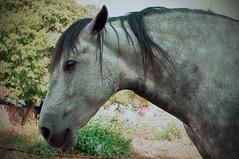 Caballo_DSC0155 (Cotallo-nonocot) Tags: espaa texture photoshop caballo spain nikon adobe texturas extremadura caceres plasencia d90 cotallo nonocot texturex