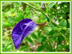Clitoria ternatea (Butterfly Pea, Blue Pea Vine, Asian Pigeonwings): side-view of its blue flower