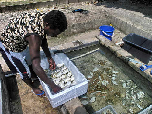 Clam farming, Solomon Islands. Photo by Jamie Oliver, 2008