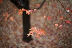 Helios Red Maple #1 (mckenziemedia) Tags: park red chicago blur tree leaves canon eos illinois maple dof russia bokeh 85mm 15 millennium m42 5d swirl 40 russian swirly helios oof f15 stevemckenziebest