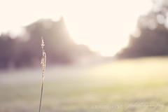 Golden Hour (Bridie Murray) Tags: park camera light sunset summer sun sunlight flower love grass rural forest canon garden photography eos golden photo spring twilight bush focus afternoon dof photoshoot bokeh farm country sunday meadow sigma arboretum brisbane depthoffield 7d flare queensland outback dslr depth sunflare 30mm