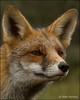 Fox Portret ... (Alex Verweij) Tags: wild holland eye alex nature netherlands closeup canon close wildlife natuur lucky fox 7d portret foxes duinen vos reinier vulpes verweij specanimal reintje alexverweij 9nov2011