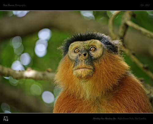 Monkey See Monkey Do by TomRaven